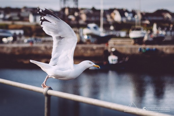Herring Gulls are elegant
