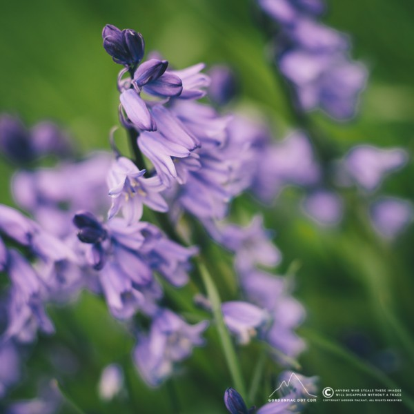 138/365 - Bluebells