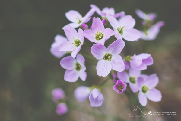 167/365 - Cuckoo Flower (Playing around with the Canon 40mm f/2.8 STM and Lens Extension Tube EF 12 II)
