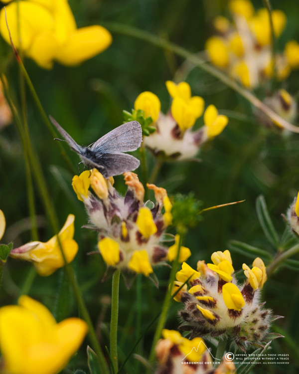 Small Blue butterfly on some Kidney Vetch in the dunes at Dunnet