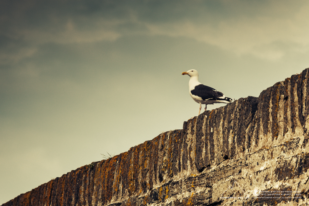 193/365 - Another favourite of mine, the Great black-backed Gull (Larus marinus)