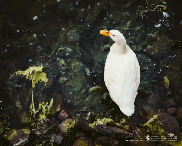194/365 - Quack-quack