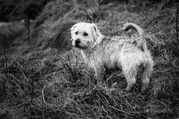 033/365 - Glen of Imaal Terrier.