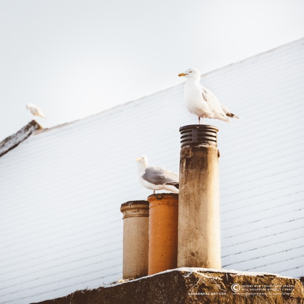 072/365 - Herring Gulls enjoying some morning sunlight on the rooftops of Wick